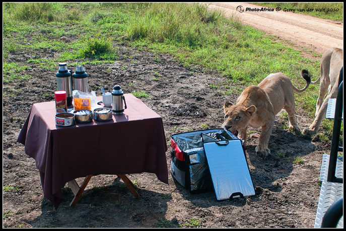 Lioness during coffee stop - Madikwe Game Reserve