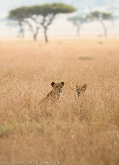 lion in long grass (1 of 1)