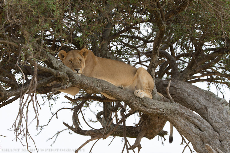 lion in tree3 (1 of 1)