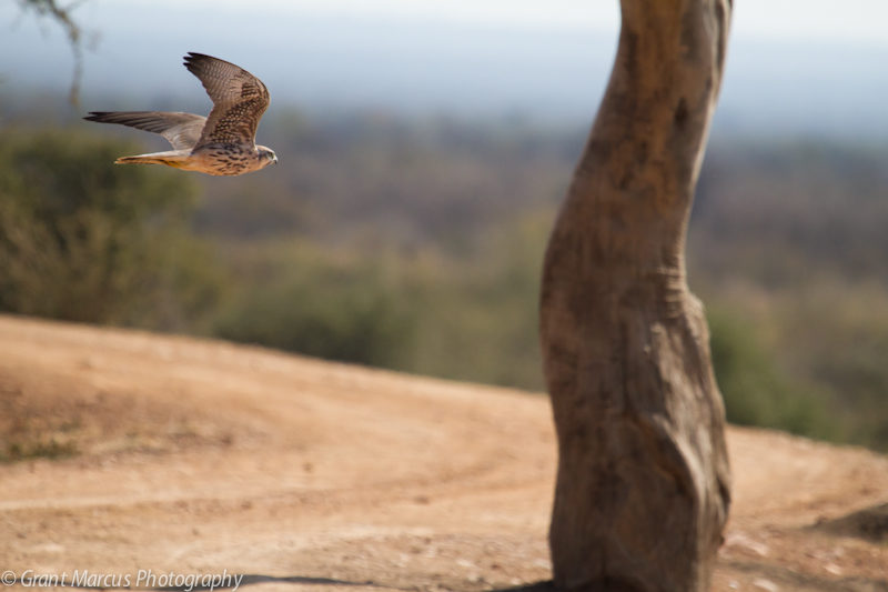 Lanner falcon (3 of 4)
