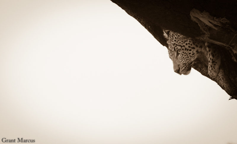 leopard different angle sepia (1 of 1)