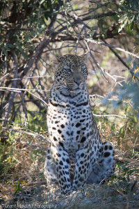 leopard in shade (1 of 1)