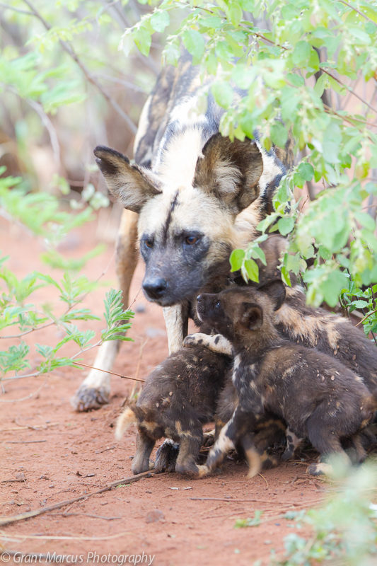 2015 wilddog pups (1 of 2)
