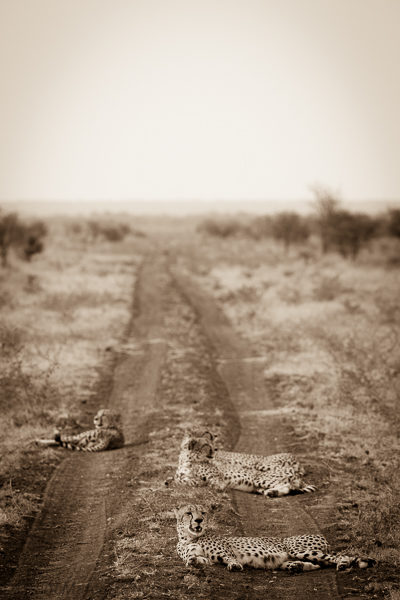 cheetah after stalk (1 of 1)