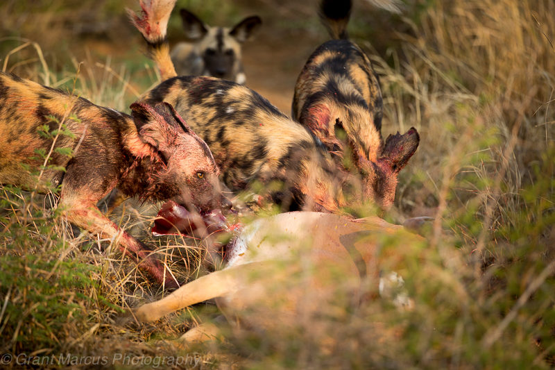 wilddog kill impala (1 of 1)
