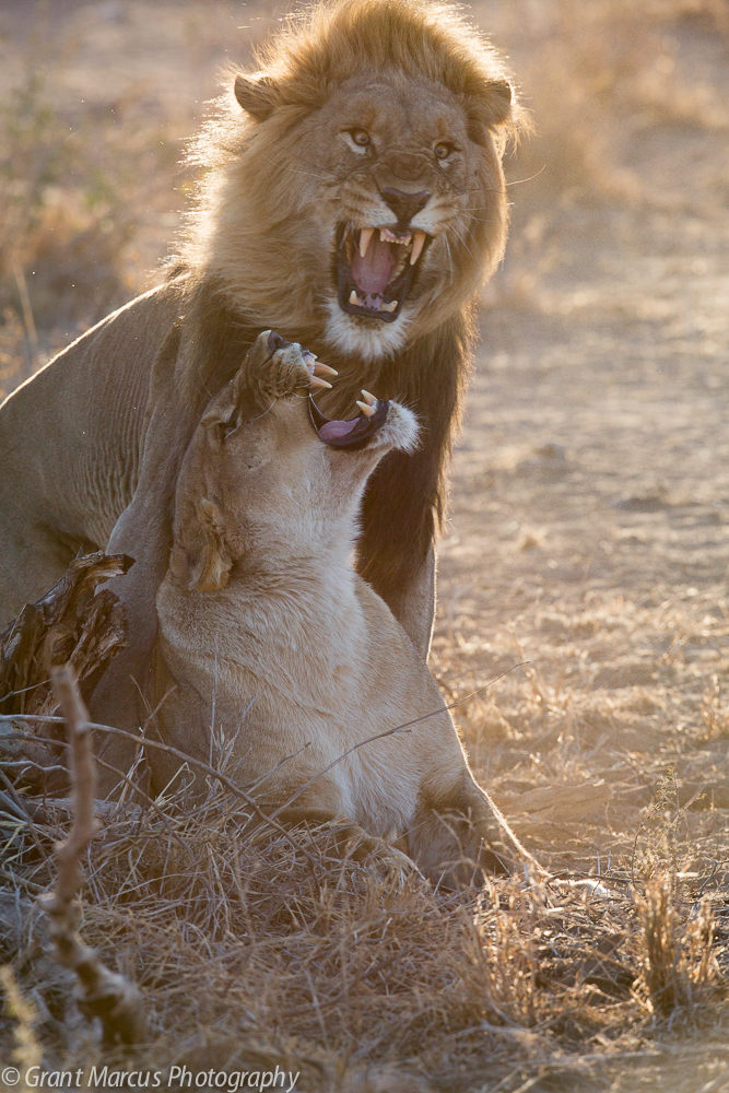 Mating lions (4 of 4)