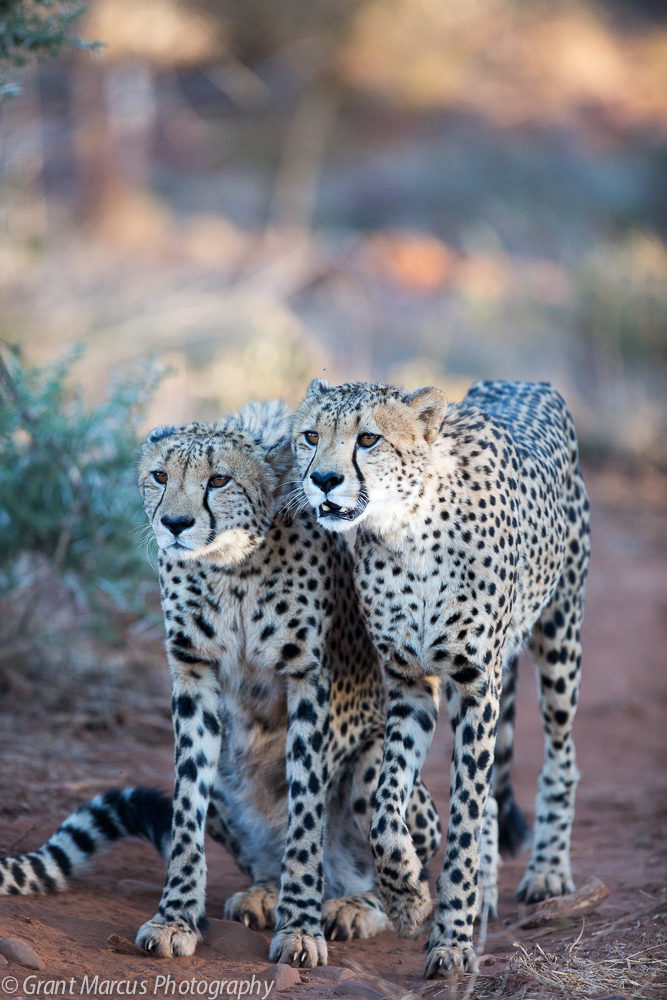 cheetah focused (1 of 2)