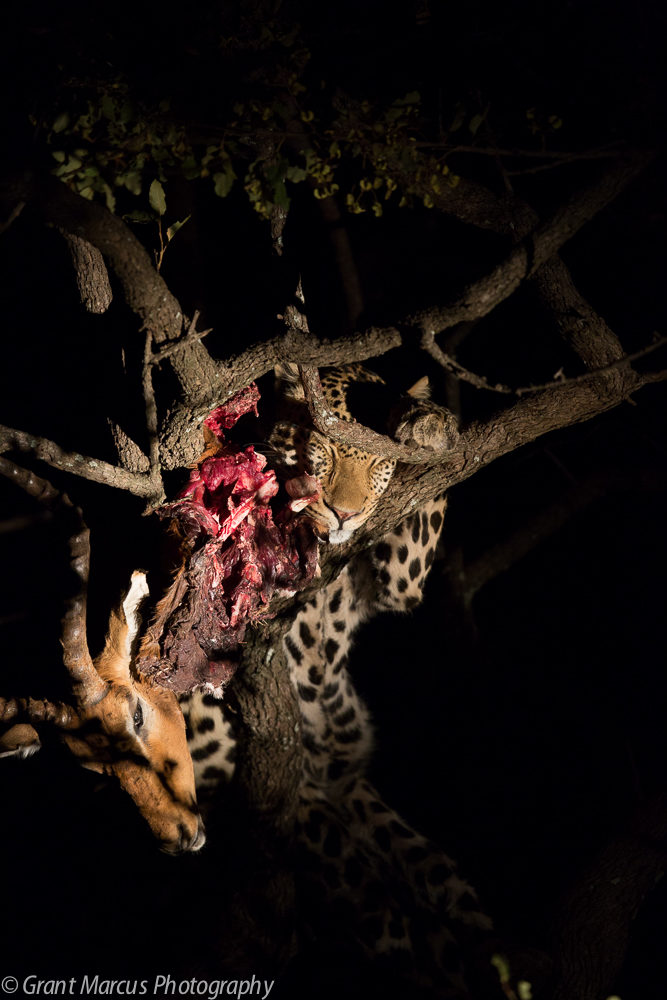 leopard on kill (2 of 2)
